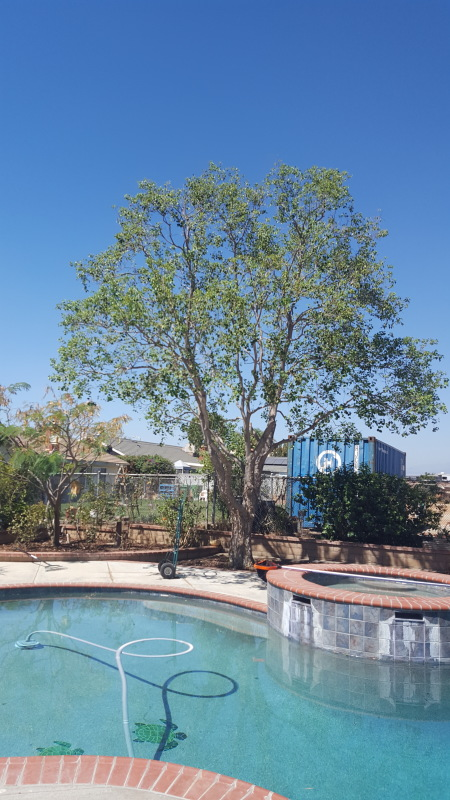 tree trimmed by pool